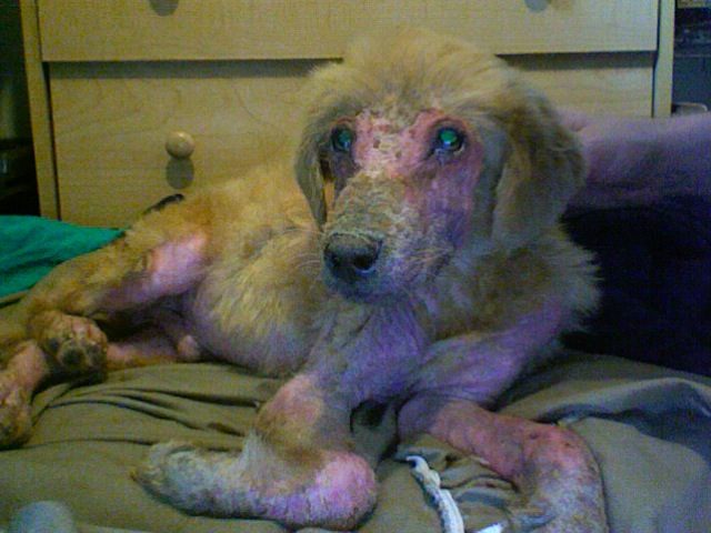Austin Pets Alive Neglected Small Golden Retriever Mix Needs A Home