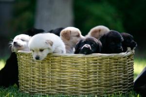 basket-of-puppies3