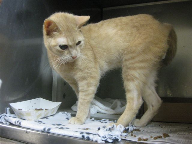 Butterscotch had a bad eye infection when he came to the shelter. He had to have it surgically removed. I don't know why but everyone seems to love one eyed kitties! He was adopted last weekend at the mall.