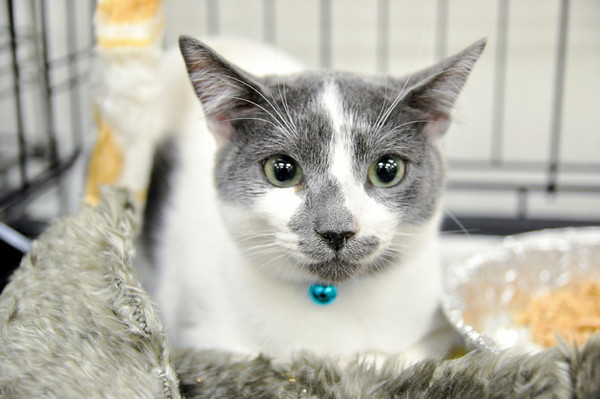 Partly Cloudy was a shy sweet cat, the last of her siblings to find a home: adopted December 5th