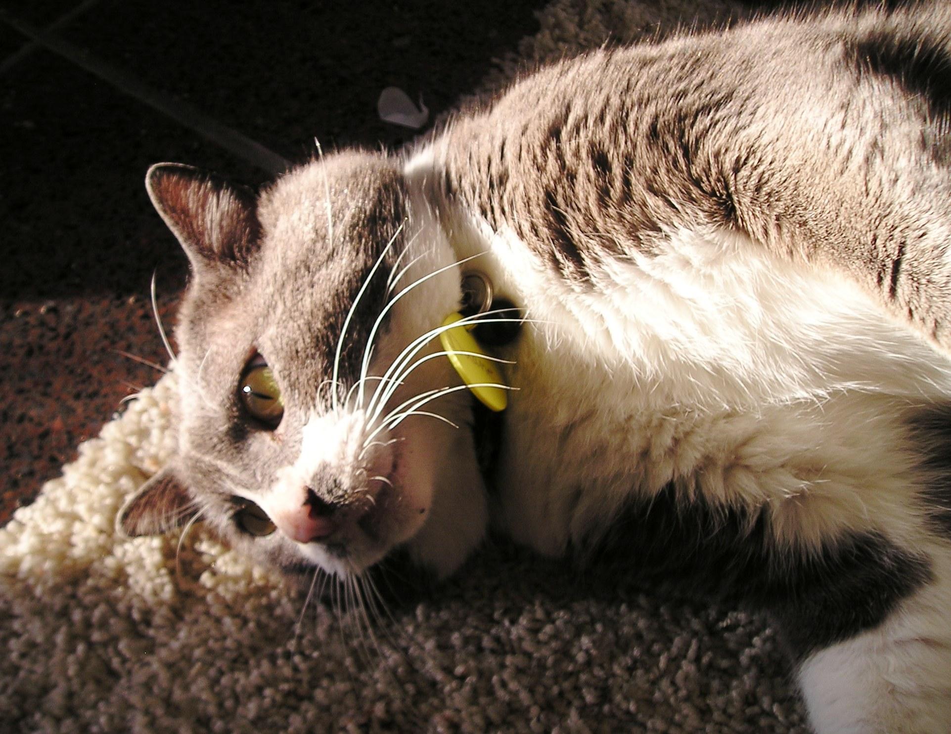 APA rescue cat, Duane