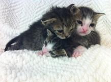 Bottle Baby Kittens