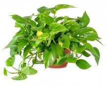 Pothos Toxic to Cats and Dogs