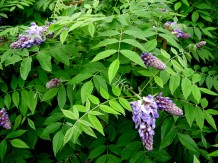 wisteria toxic to cats and dogs