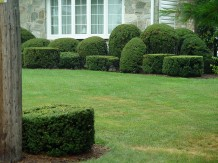 yews toxic to cats and dogs