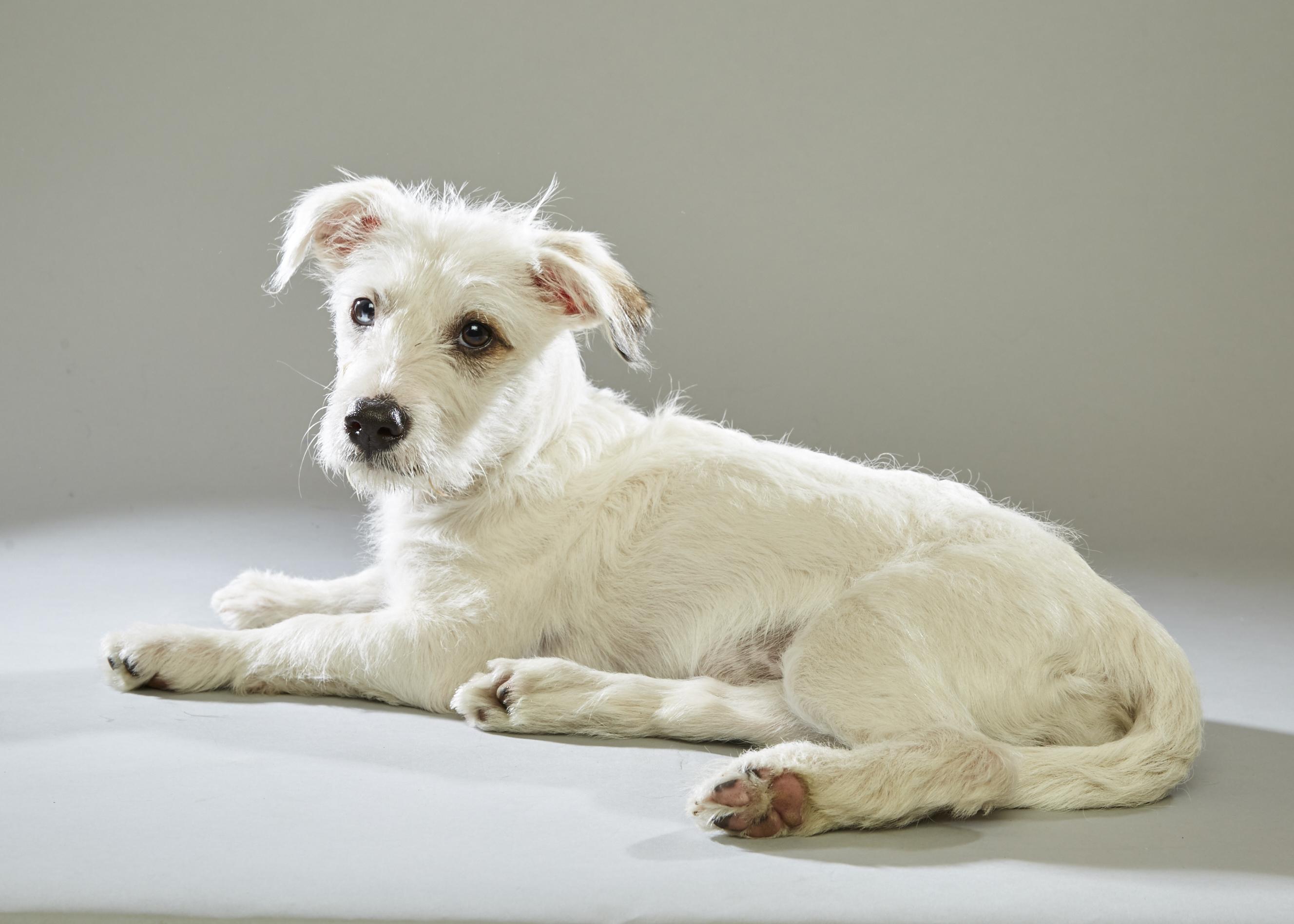 Austin Pets Alive! Puppy Bowl - Hailey