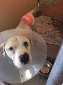 pit bull, apa, austin pets alive, medical needs animal