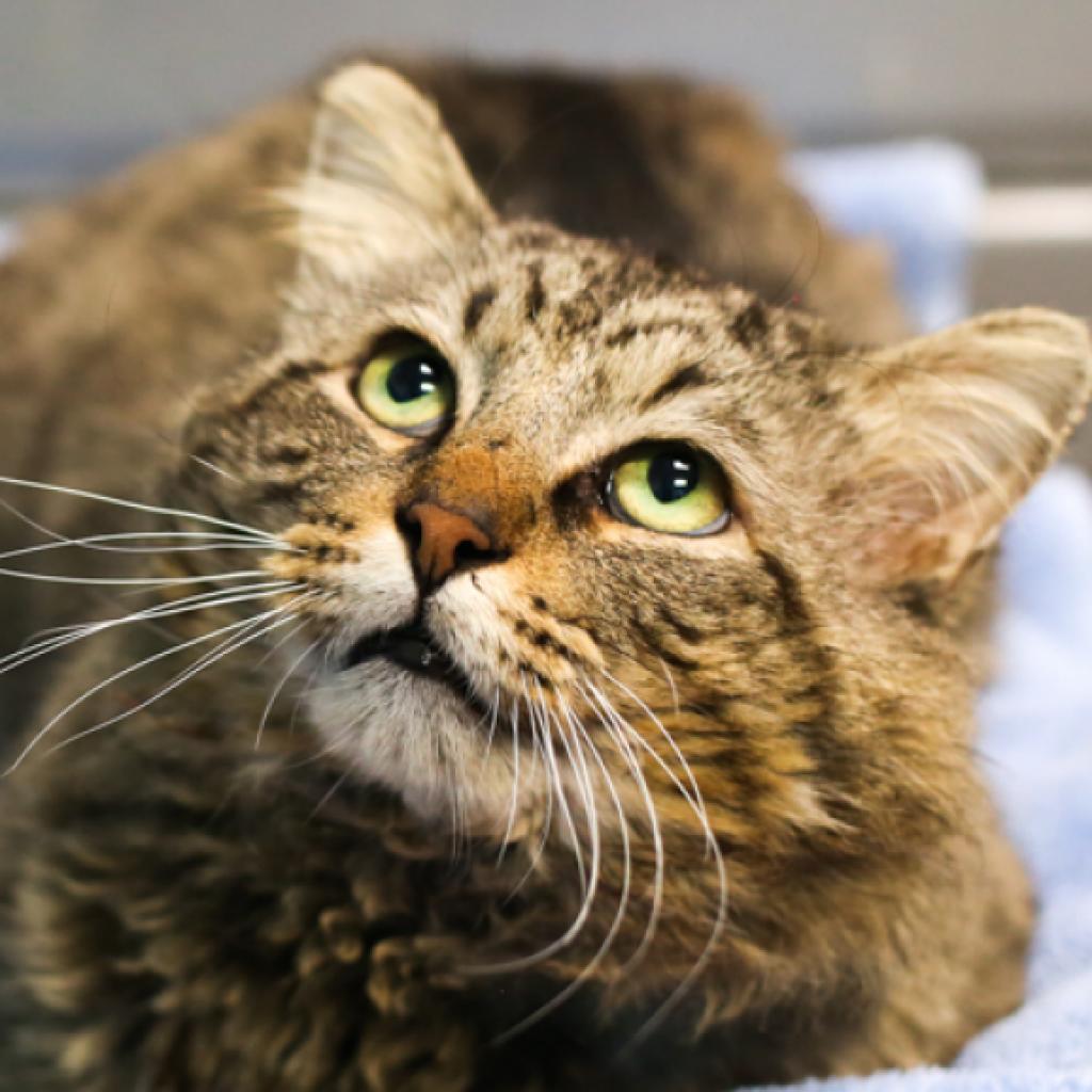 Austin Pets Alive Adopt A Cat