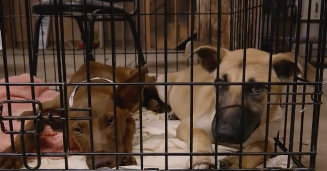 At least 100 dogs from Texas shelter airlifted to New Jersey